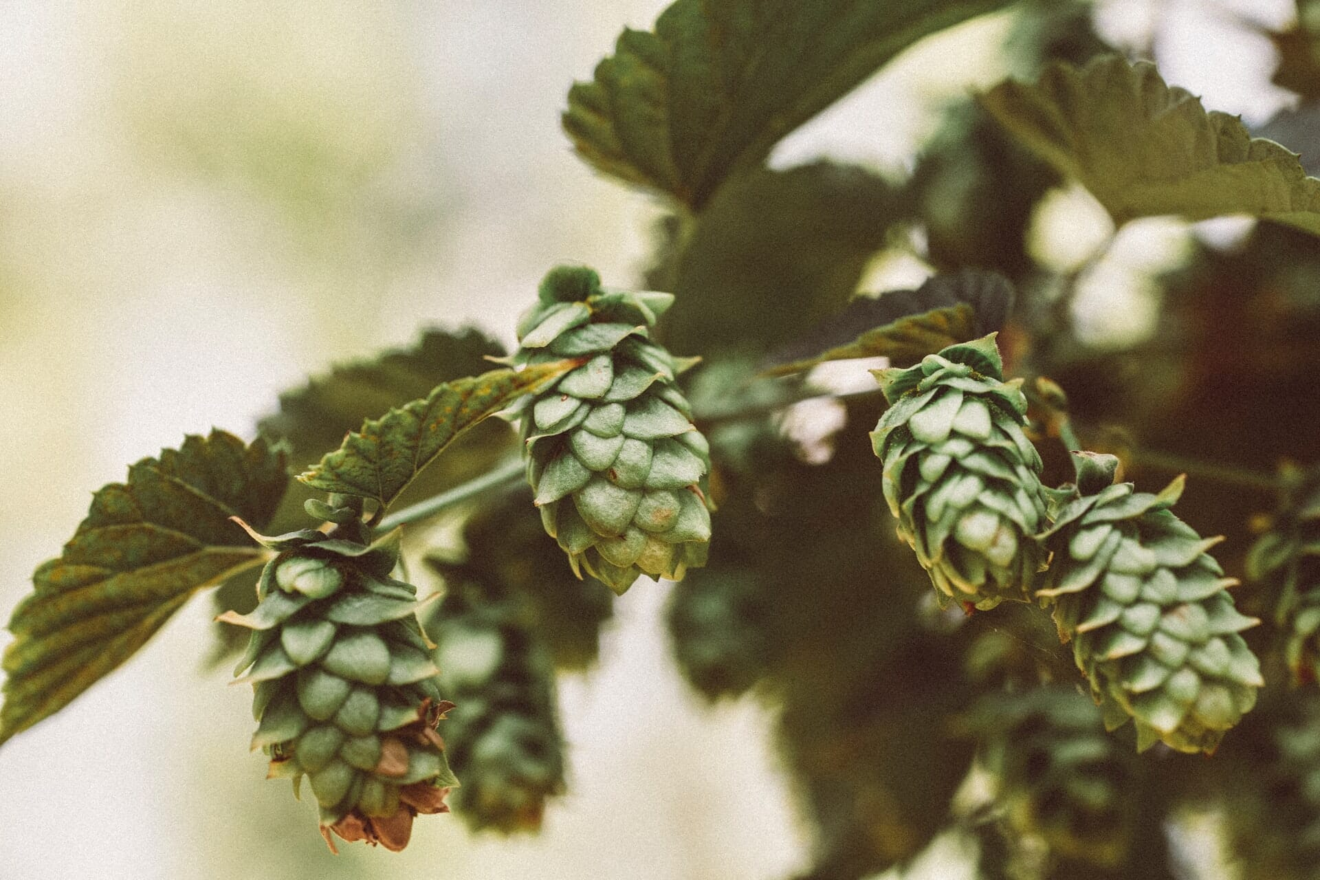 Alpha Humulene Terpene: A Brief Introduction